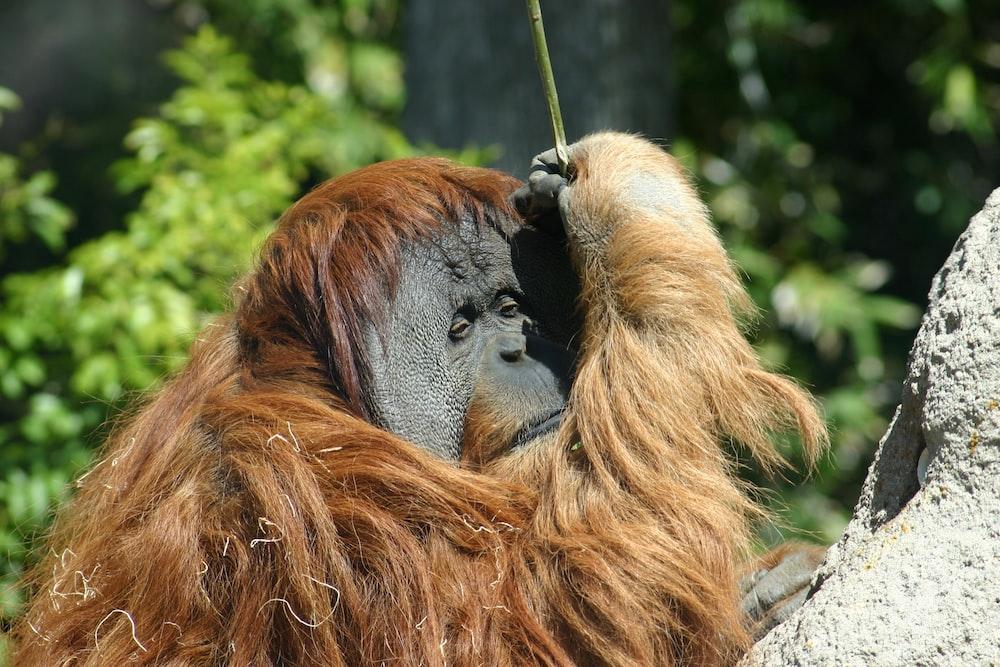orangutan on top of gray rock during daytime