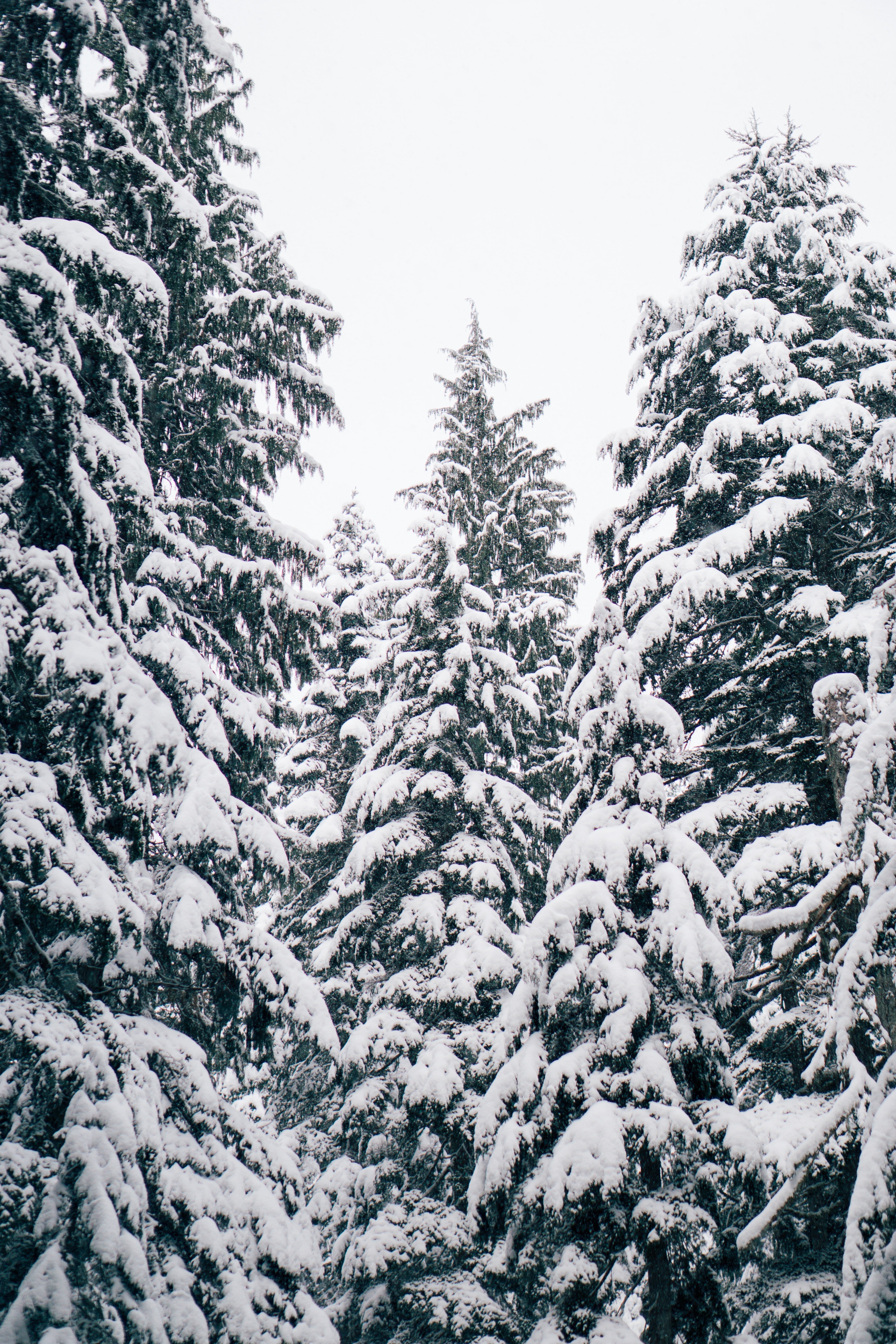 close up photography of pine trees covered with snow