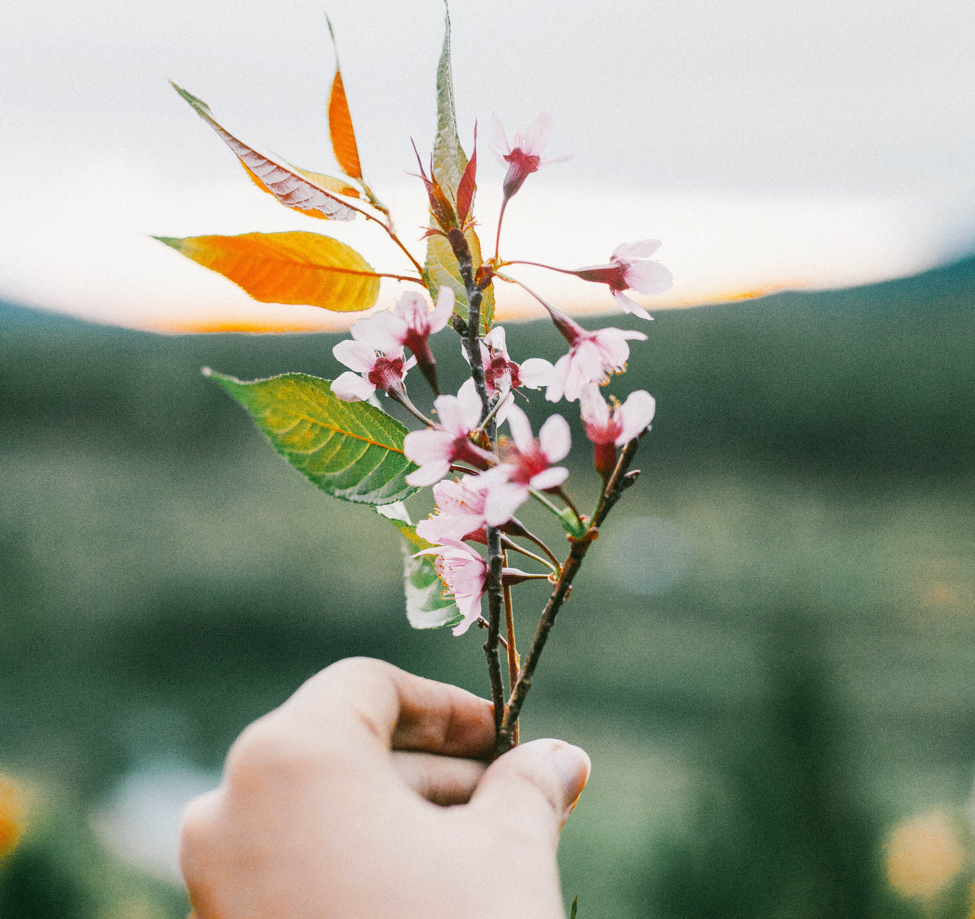 selective focus photography of person holding pink petaled flower