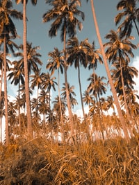 green palm trees on brown grass land under blue sky