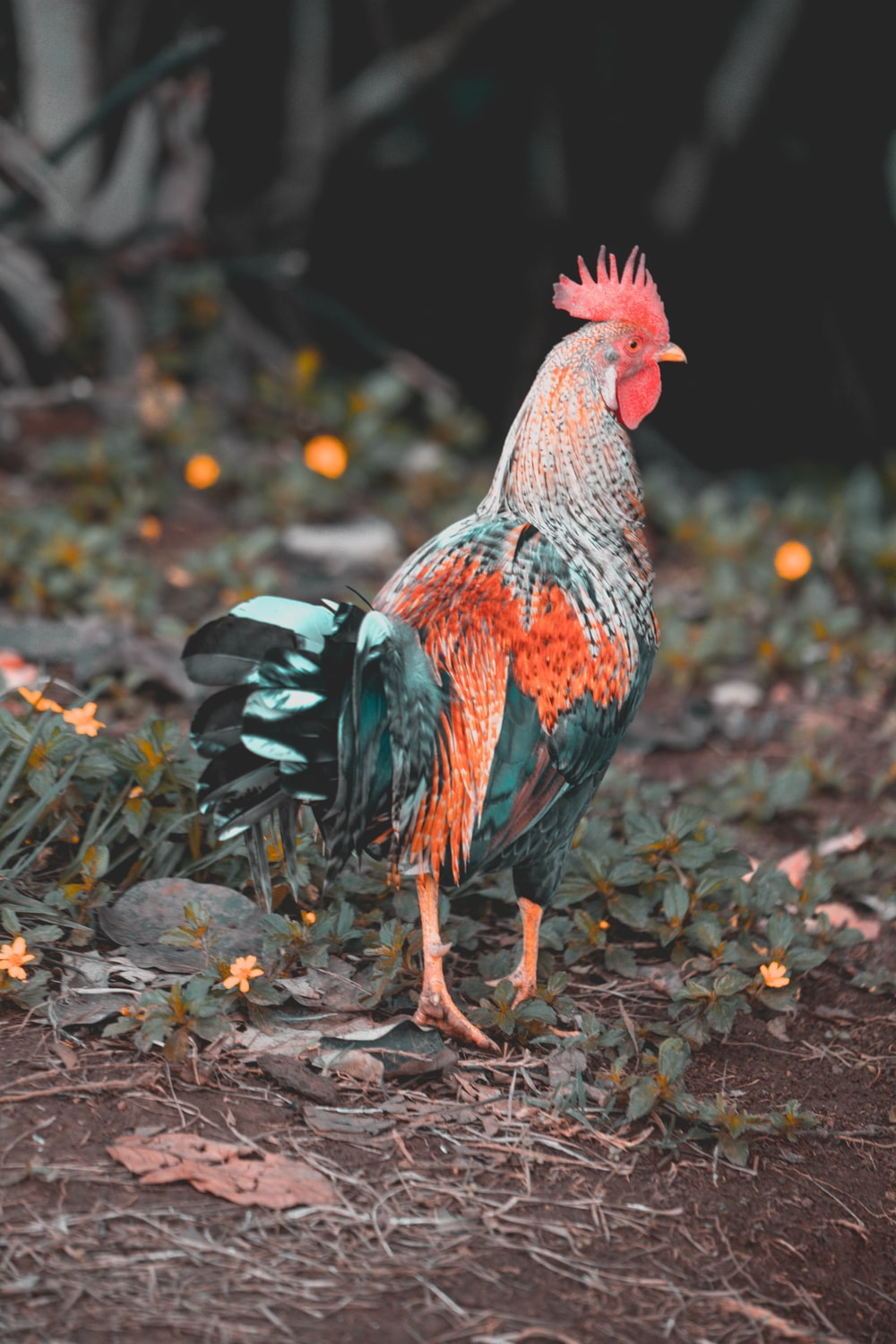 rooster walking on green grass