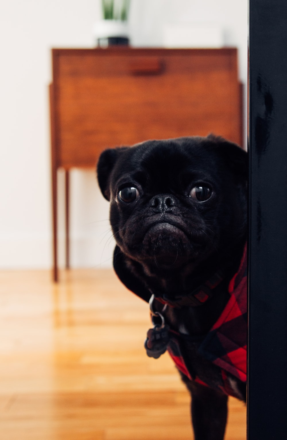 black pug standing on floor