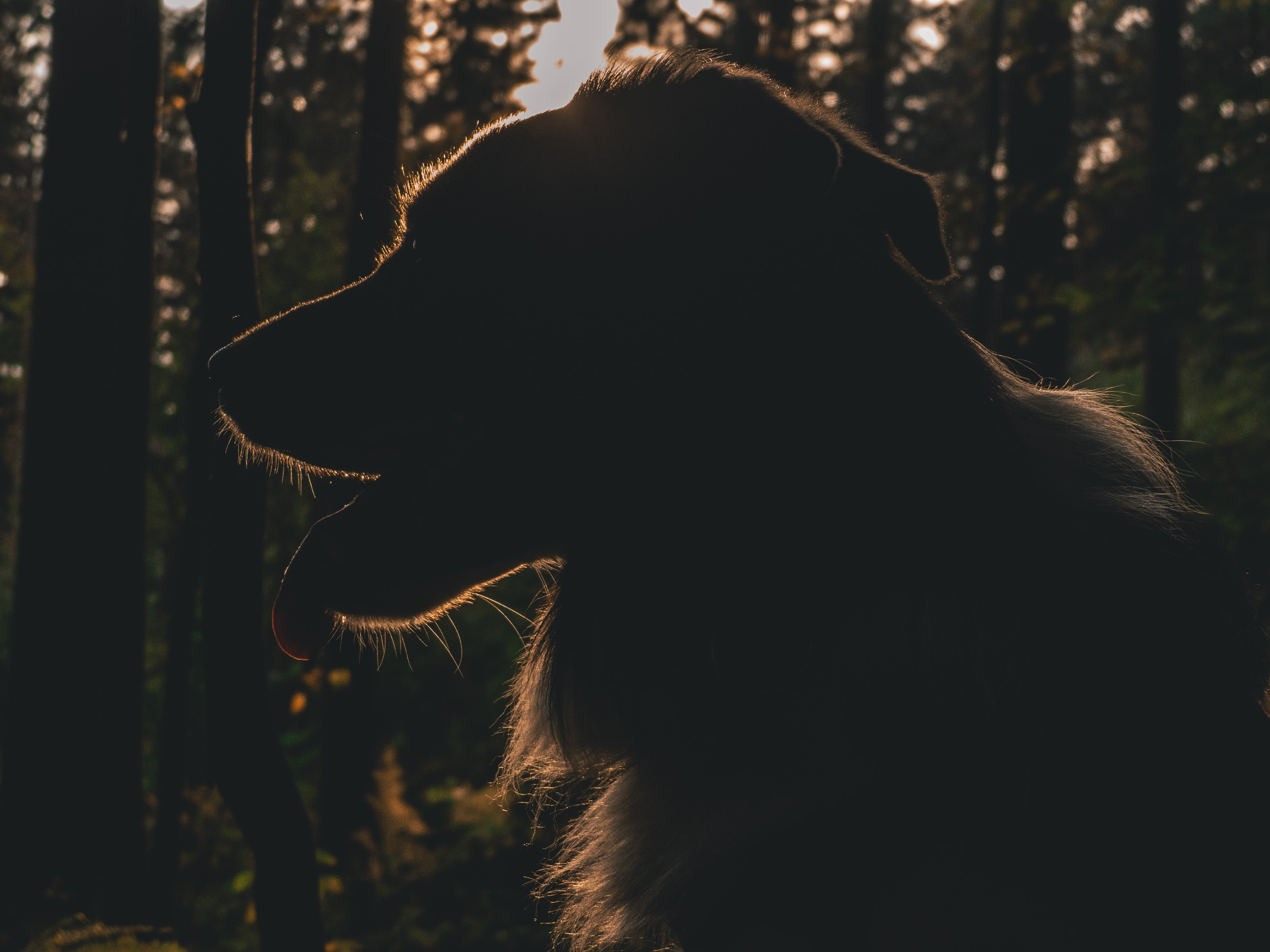 silhouette of dog on forest