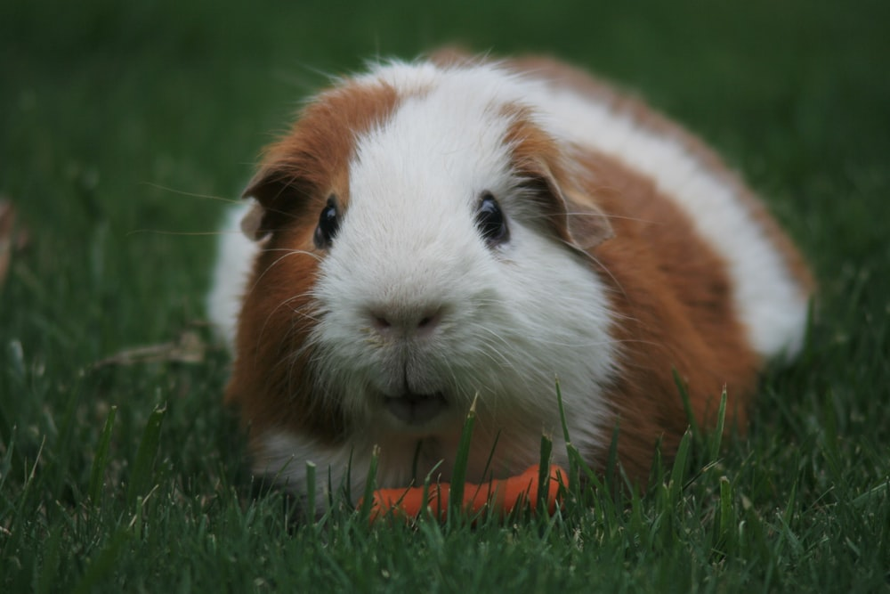 brown and white Guinea pig eating carrot