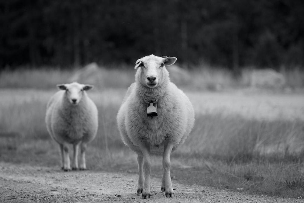 two sheeps near grass