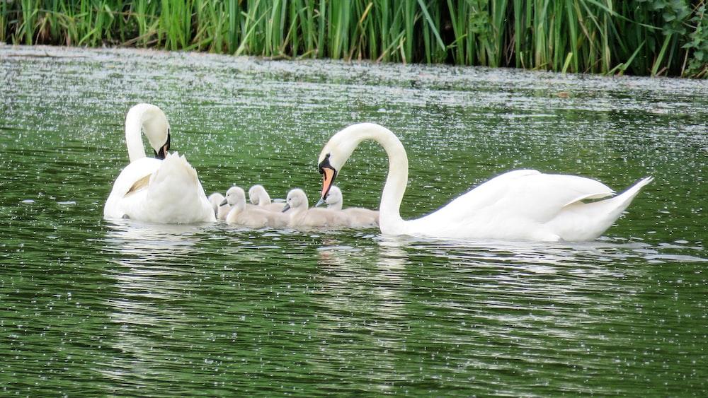 swan family on pond during daytime