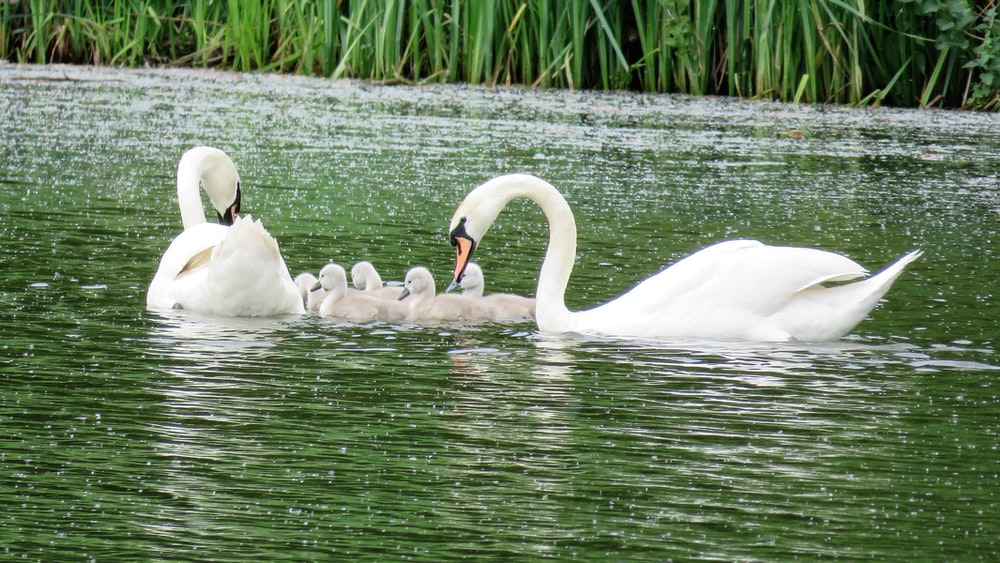 swan family on pond during daytime