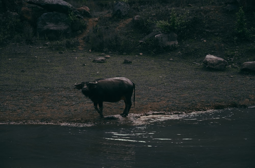 black water buffalo by water at night time