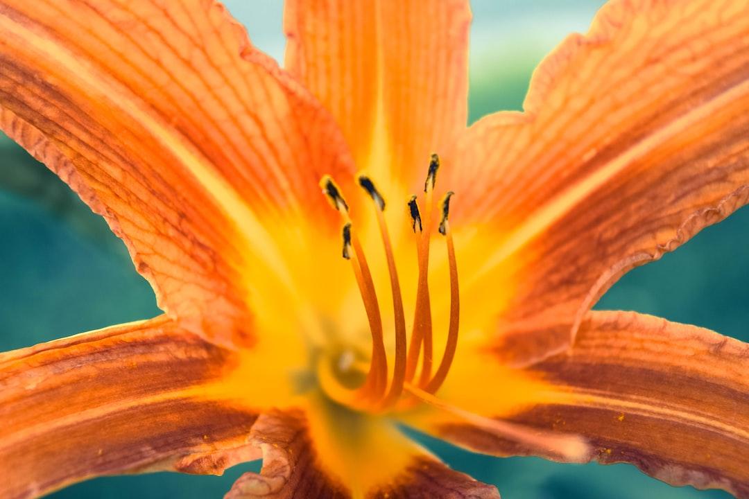 The Orange Lily