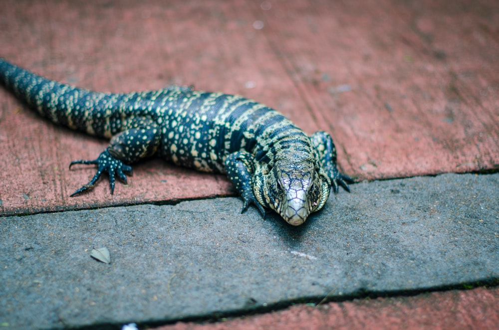 photo of black and brown lizard on gray pavement