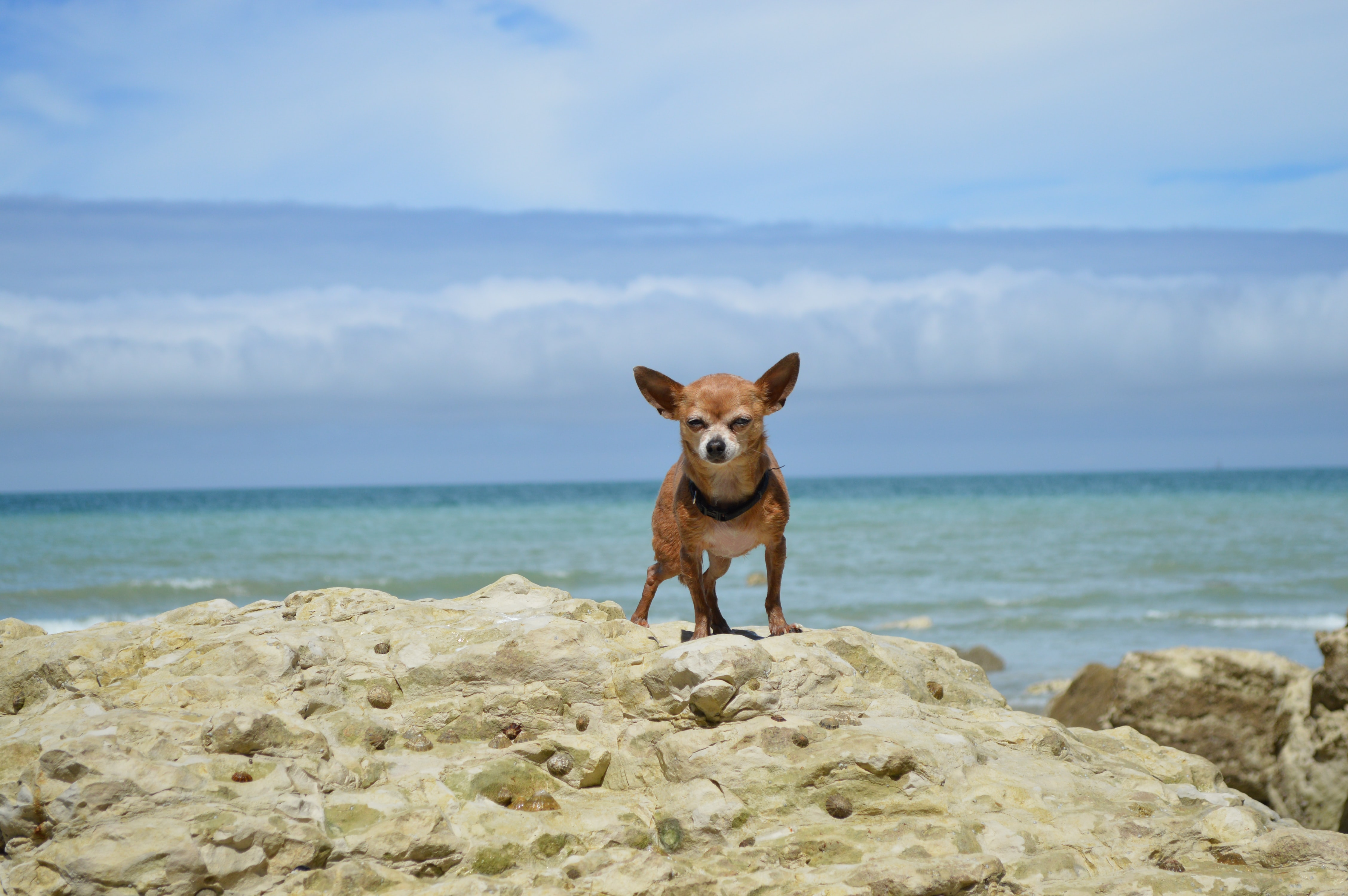adult brown chihuahua on white rock