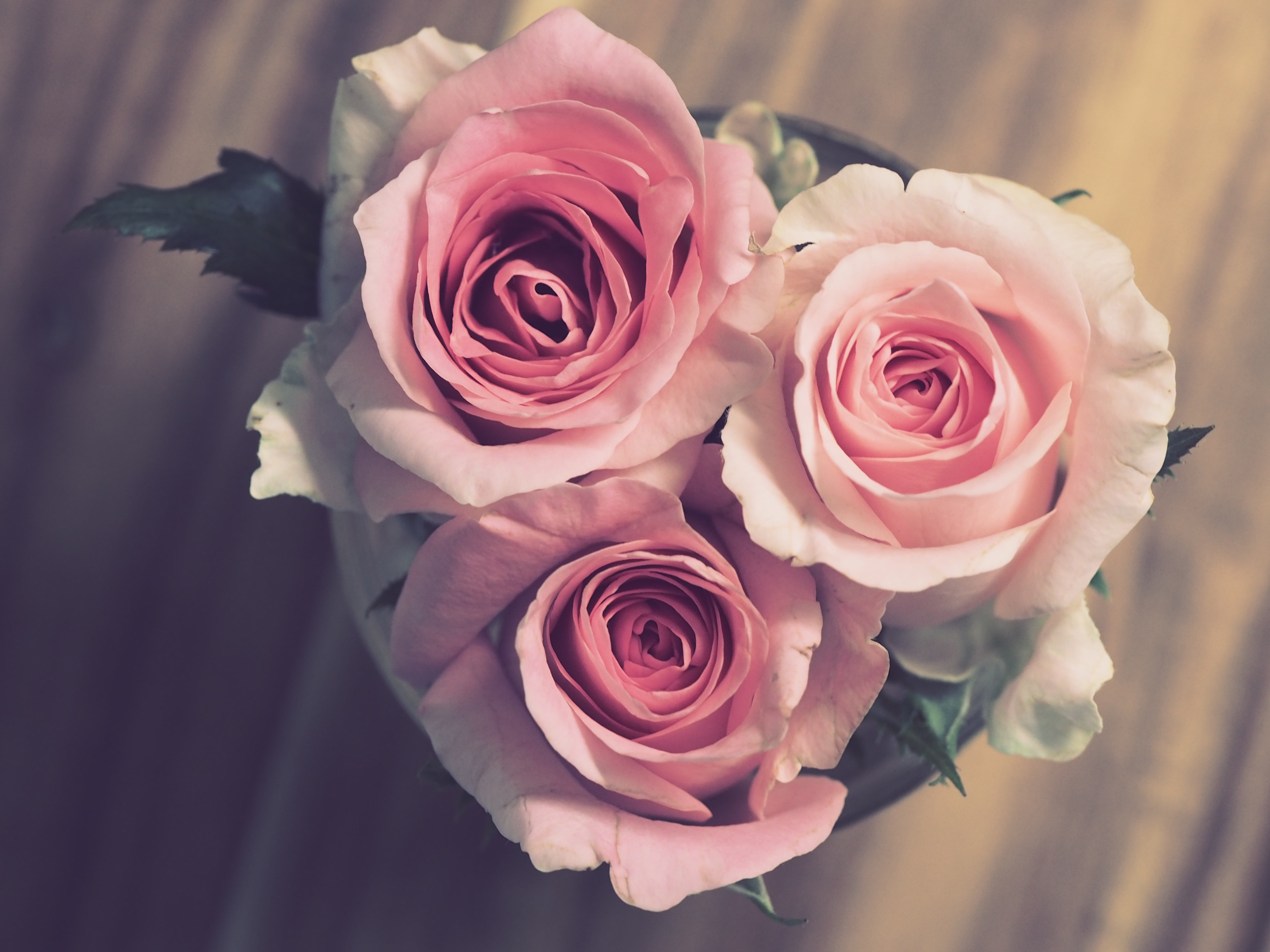 closeup photo of two pink roses