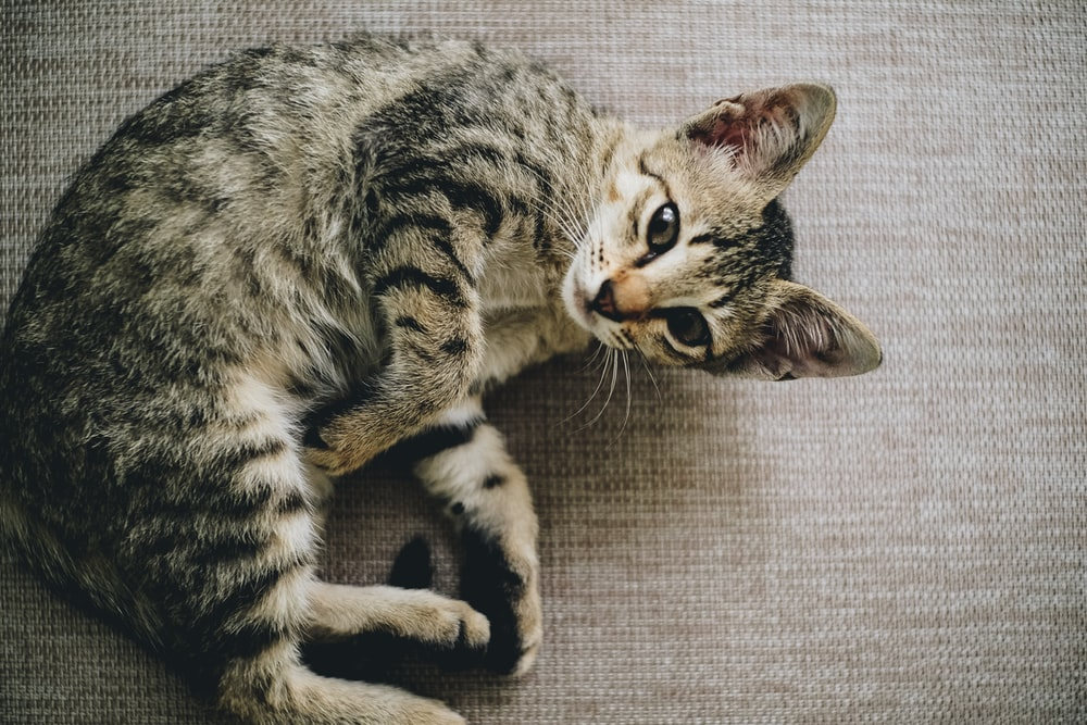 brown tabby cat lying on brown cloth
