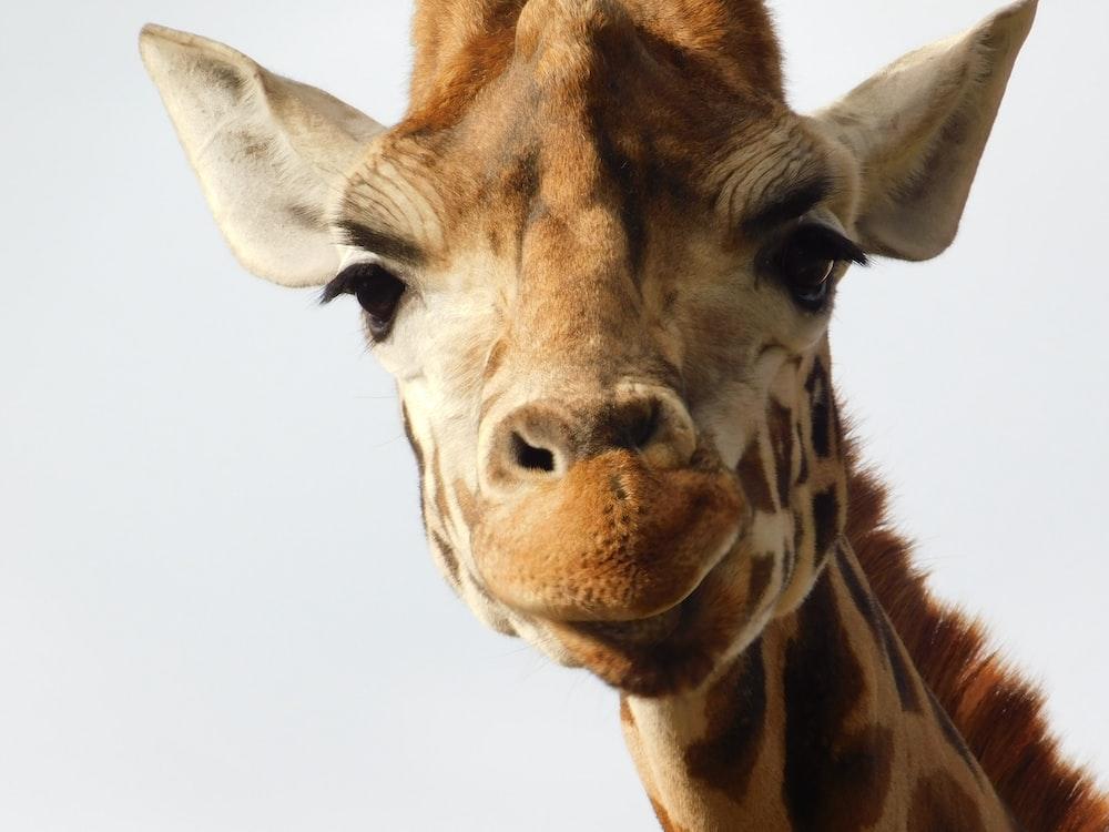 brown and gray giraffe