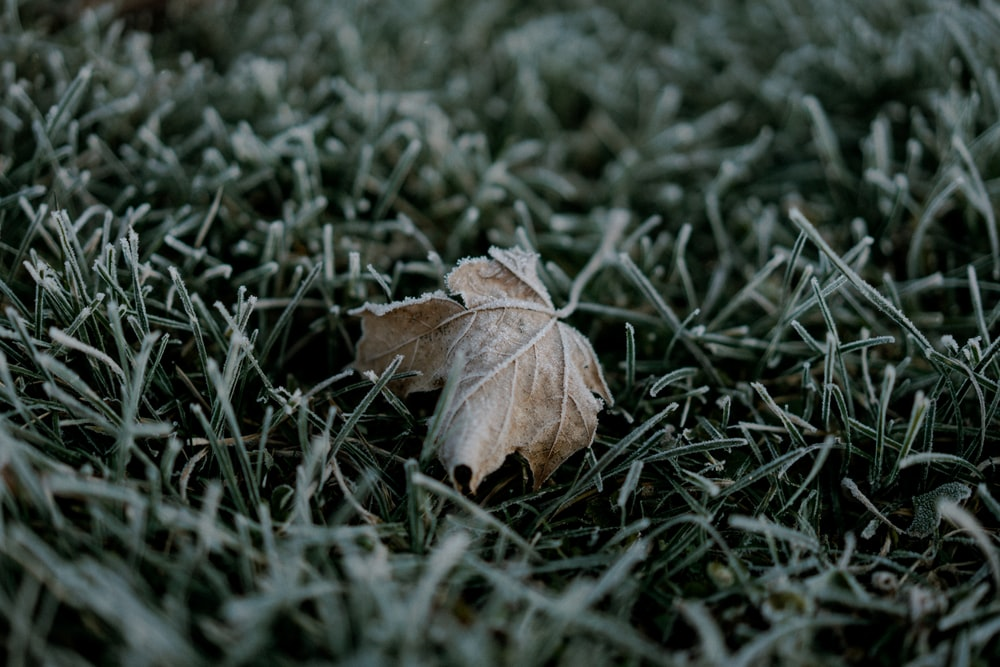closeup photo of brown leaf on green grass