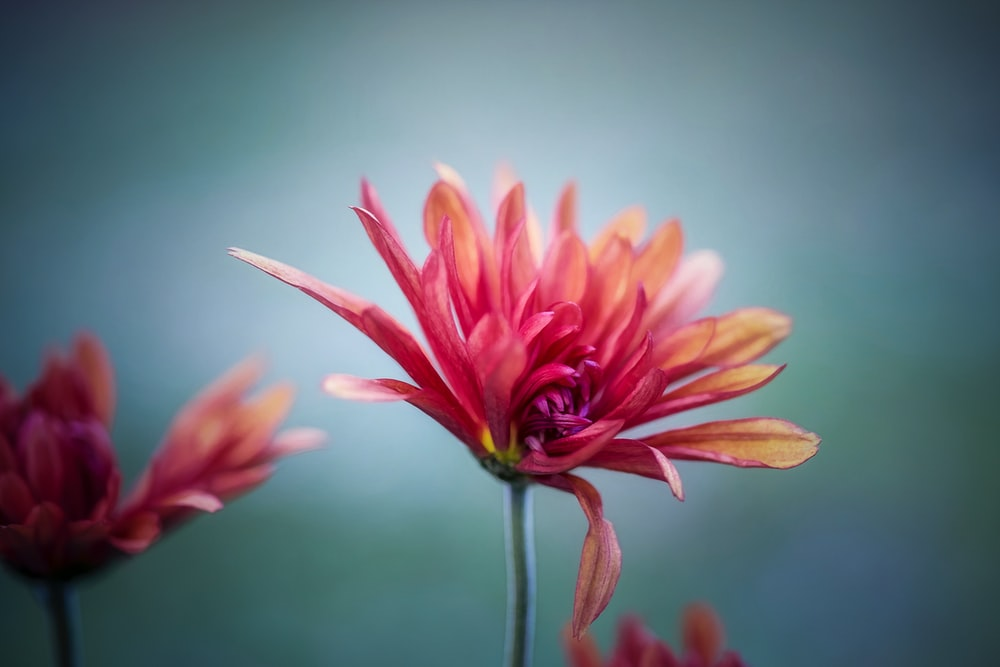 red flower in selective focus photography