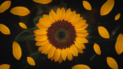 macro photography of sunflower sunflower zoom background