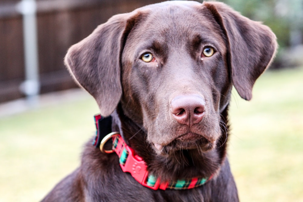 Chocolate Labs Pictures Free