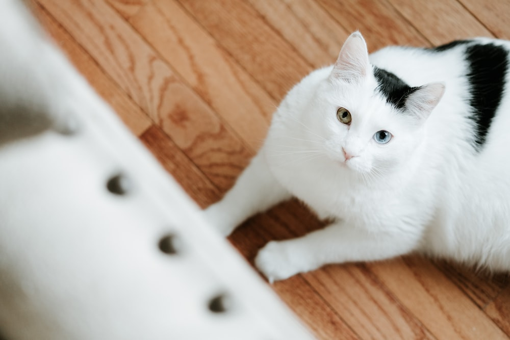 photo of white and black cat laying on floor and looking up view
