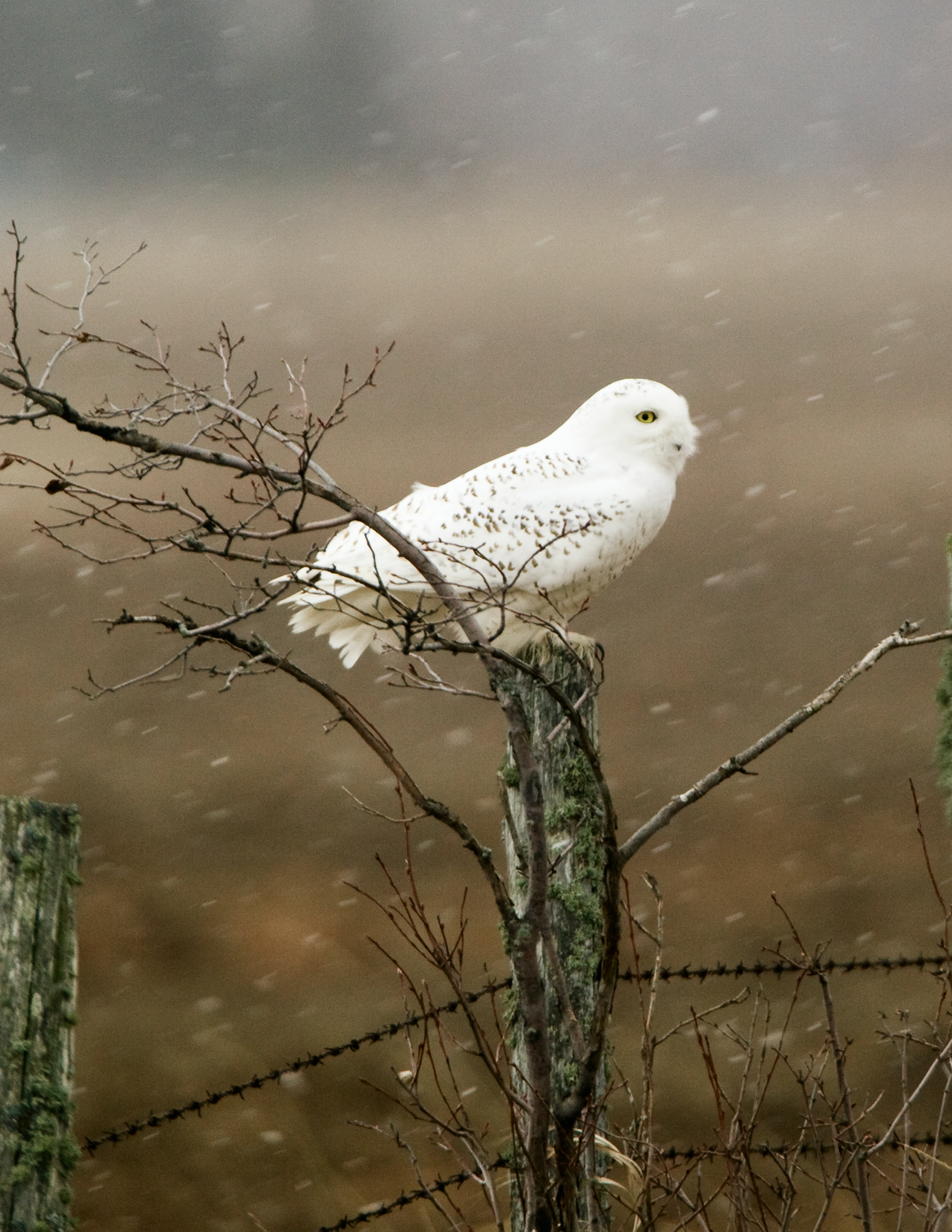 photo of snow owl perched tree branch