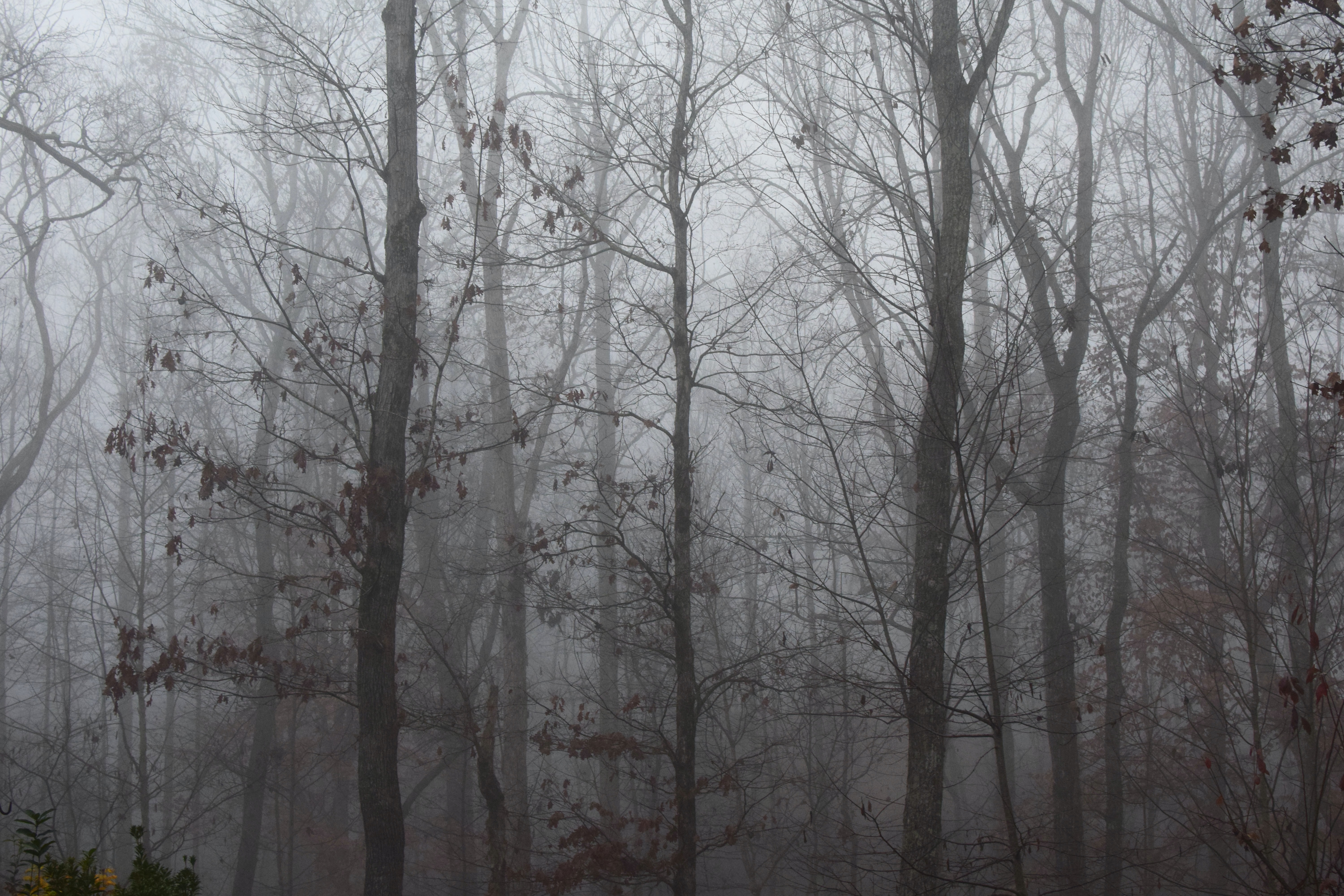 leafless tree in forest covered with fog