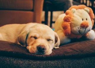 golden retriever puppy beside the lion plush toy