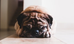 Do Dogs Need Carbohydrates?