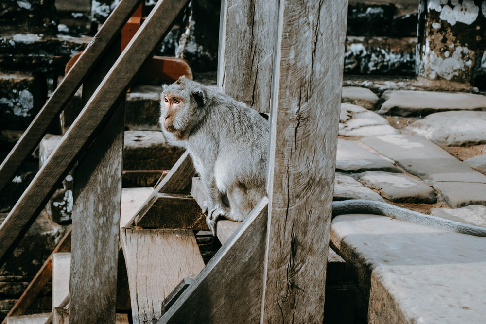 gray monkey on brown wooden stair