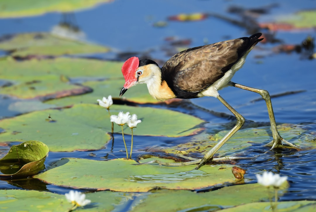 Jacanas walk on water lily leaves, and catch insects. This one is trying to catch what looks like a small bee. The birds have to keep moving from leaf to leaf as they slowly sink. Their incredibly long toes help to spread out their weight.