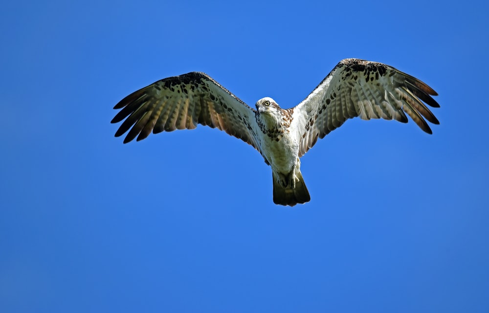 photo of eagle flying high up in the sky