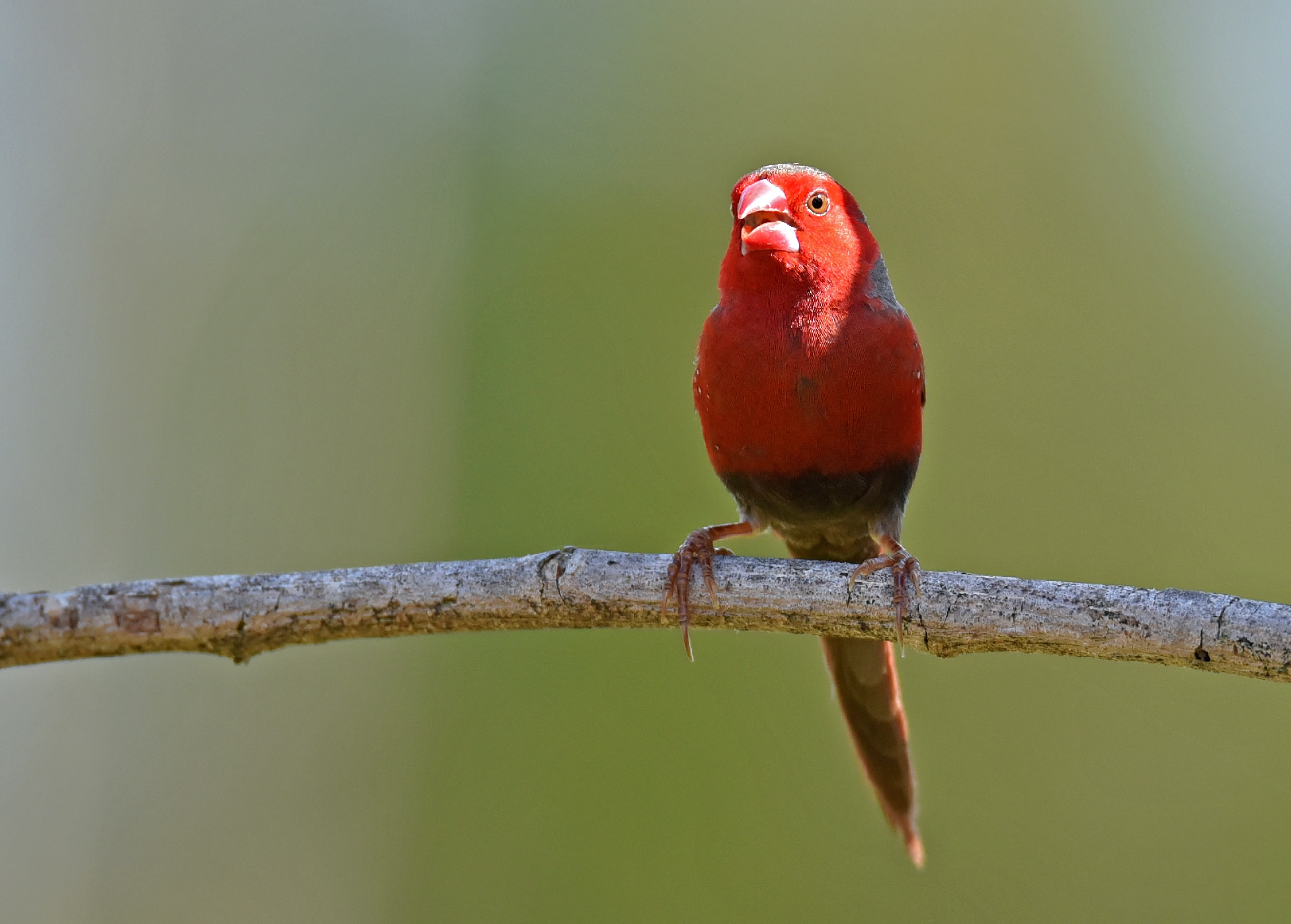 shallow focus photography of red bird on brown stick