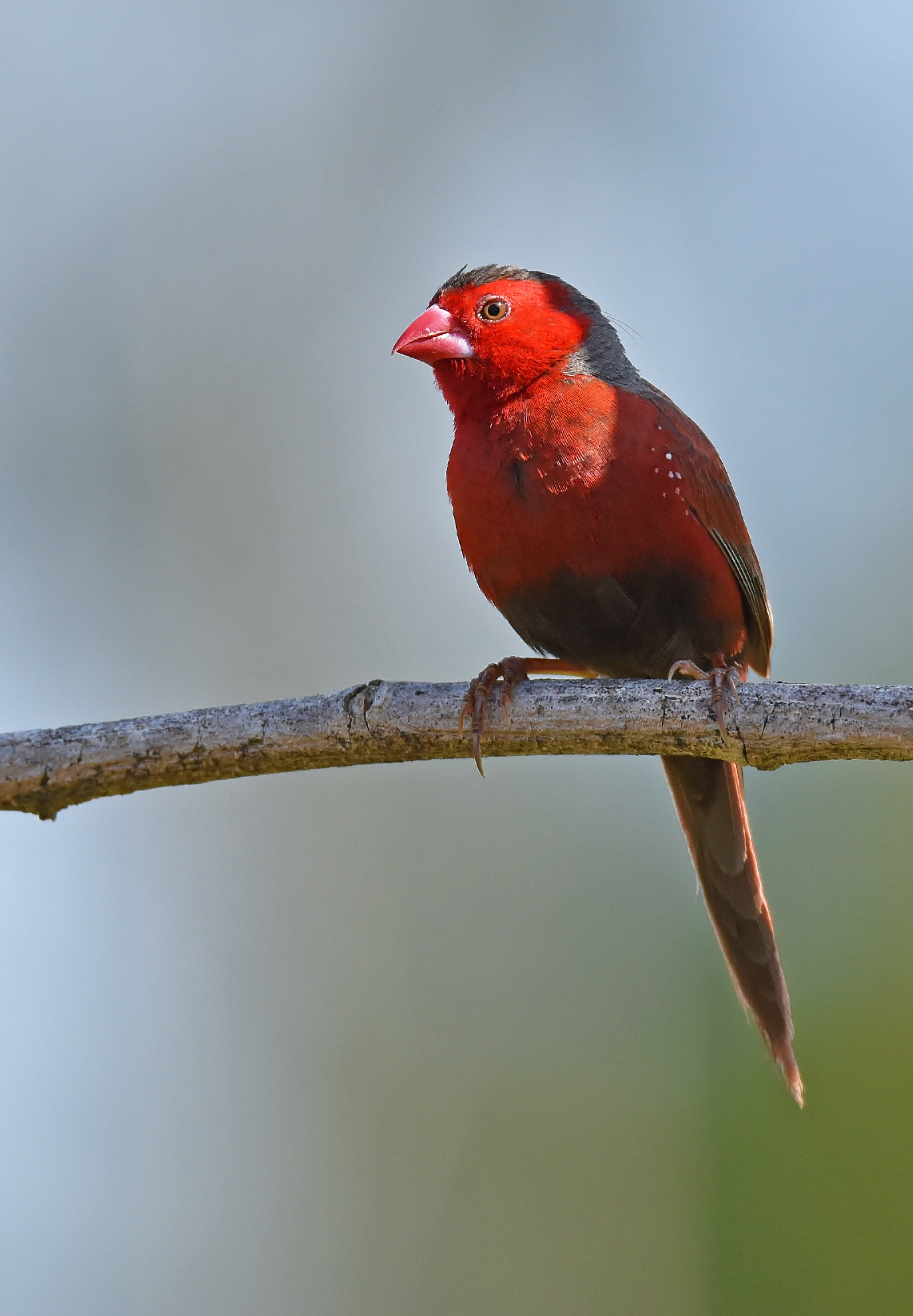 shallow focus photography of red cardinal bird