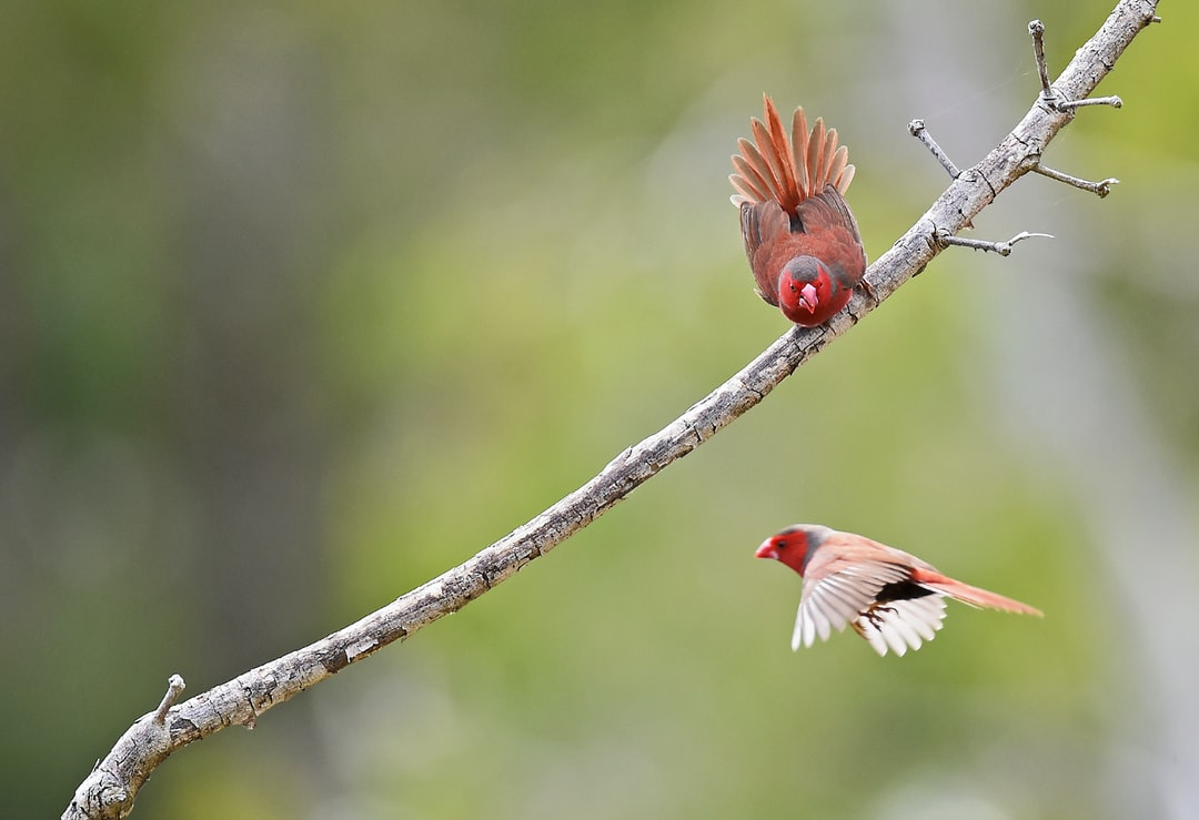 A Crimson Finch has found a nice perch and does not want to share it!