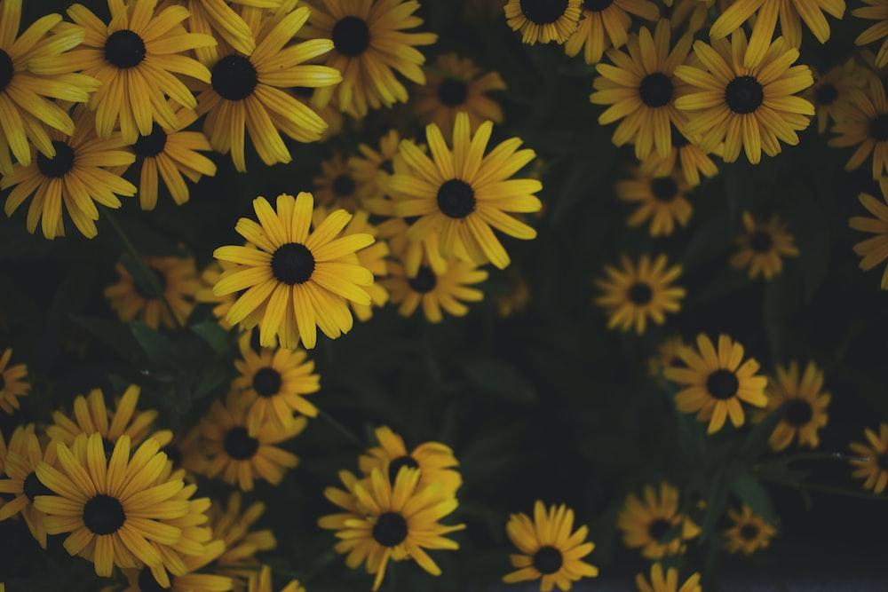 yellow sunflower plants