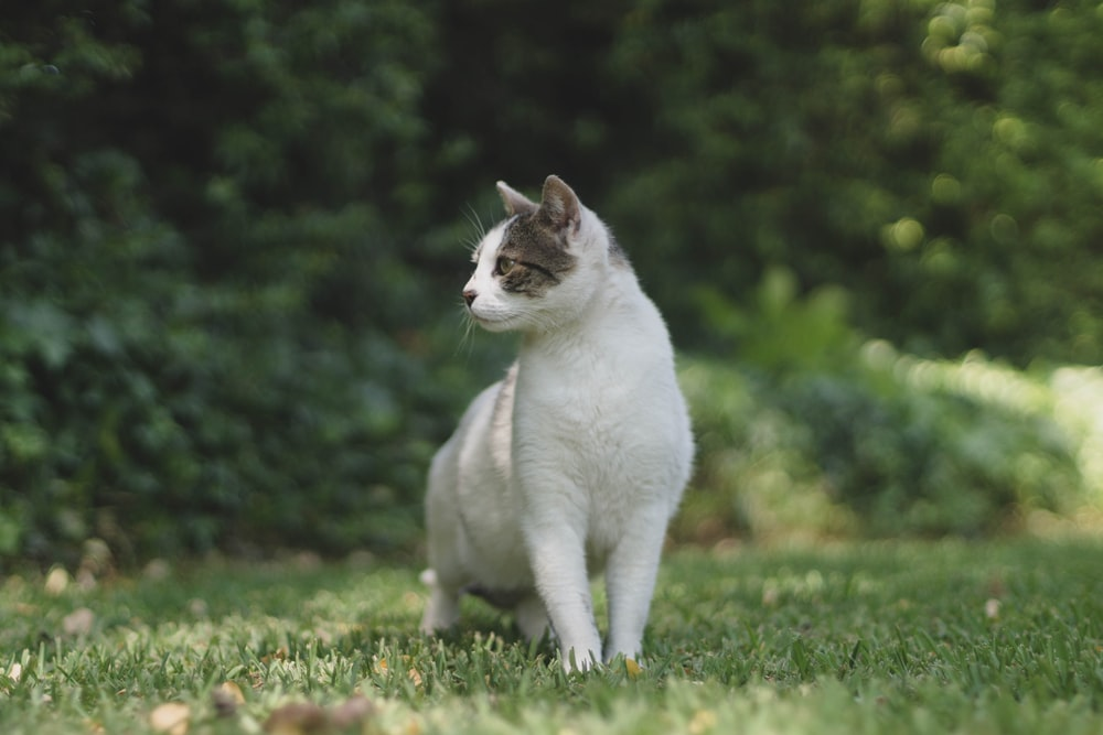 white cat on green grass field