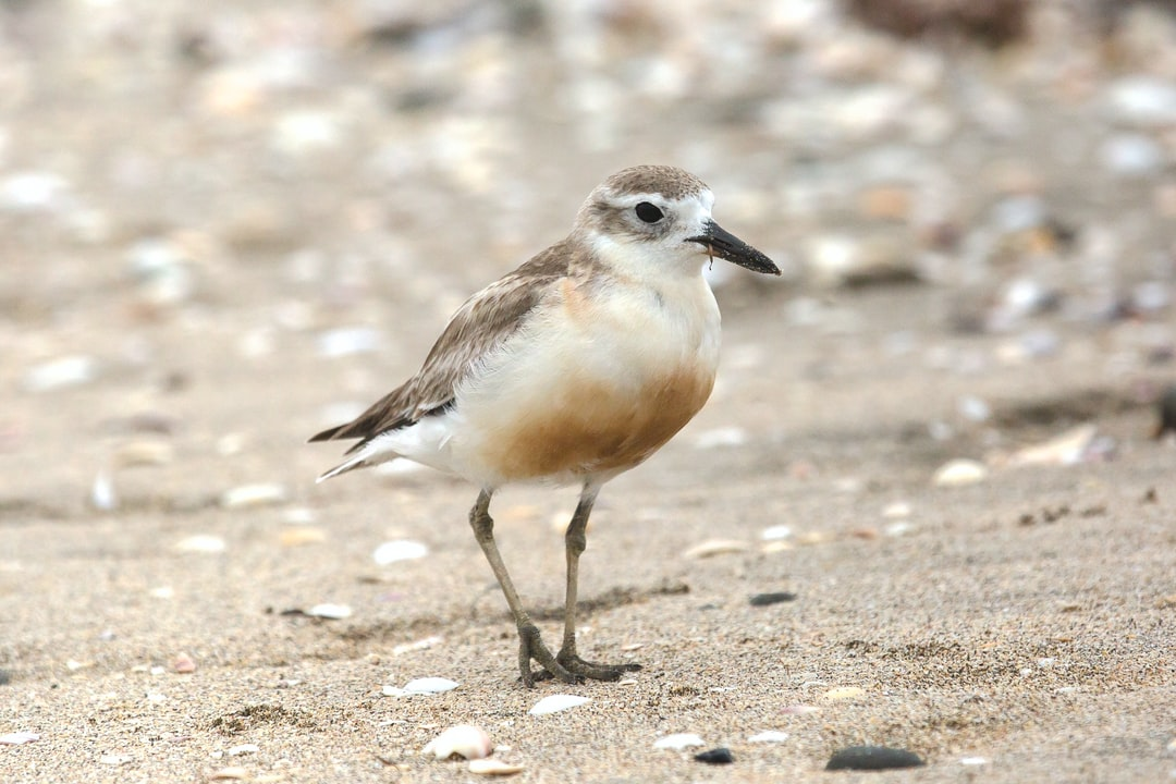The New Zealand Plover, Red-Breasted Plover, or New Zealand Dotterel (Charadrius obscurus) is an endangered species found only in certain areas of New Zealand. Its Māori names include tūturiwhatu, pukunui, and kūkuruatu.