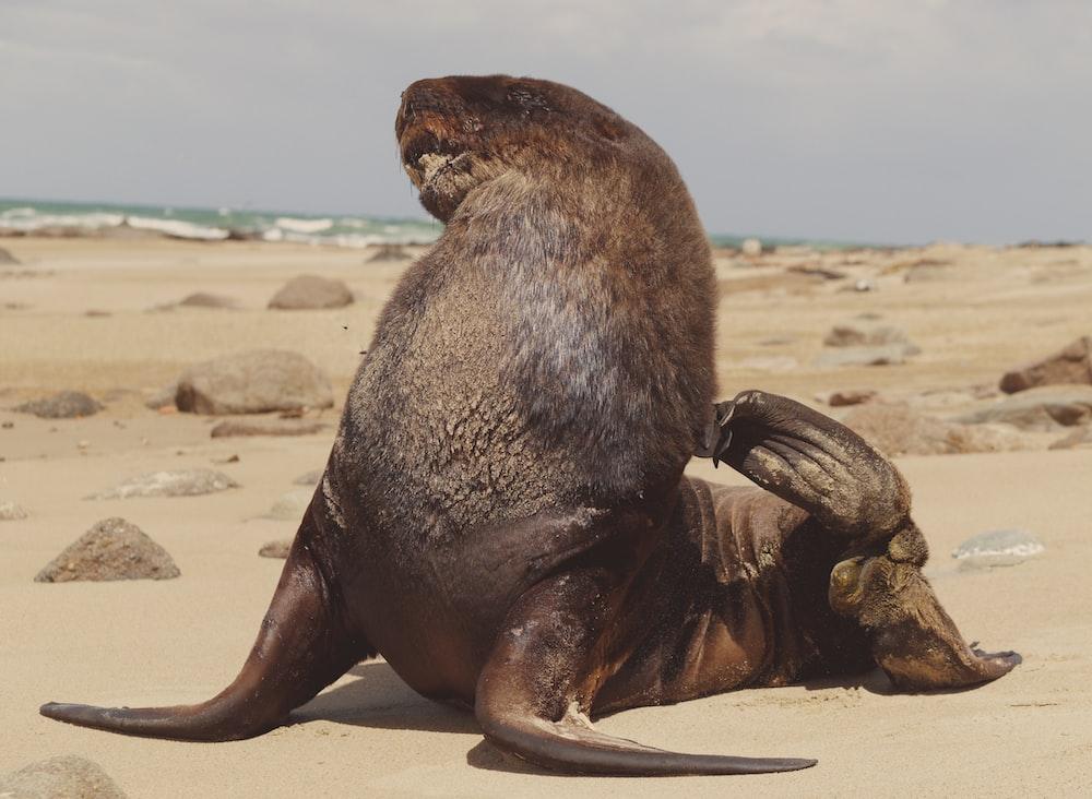 black sea lion on sand