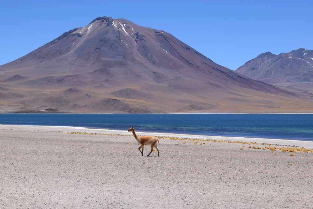 brown llama near body of water