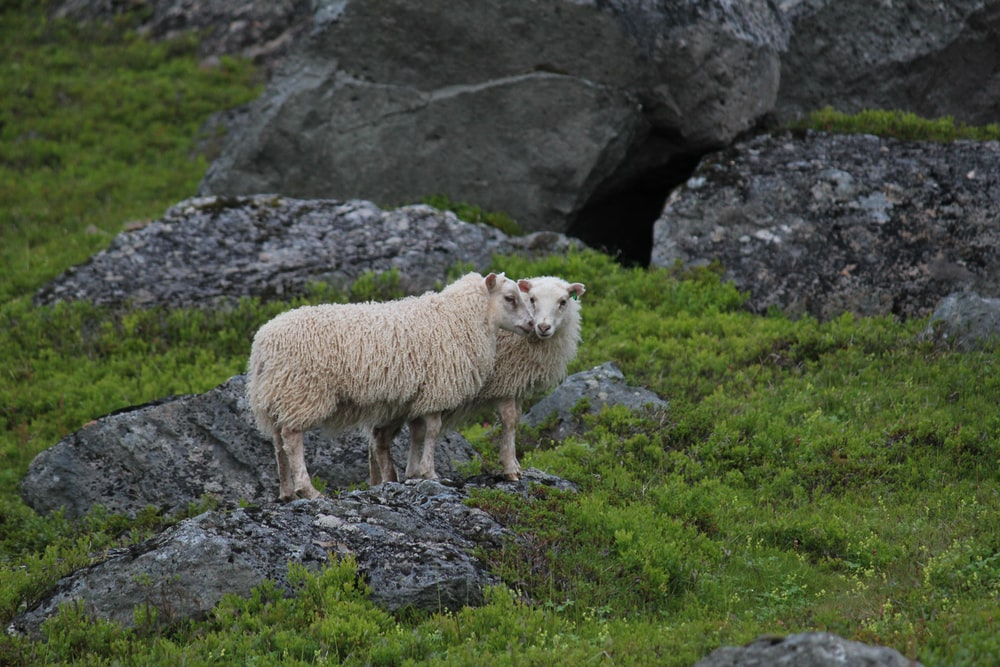 two beige lamb surrounded grass