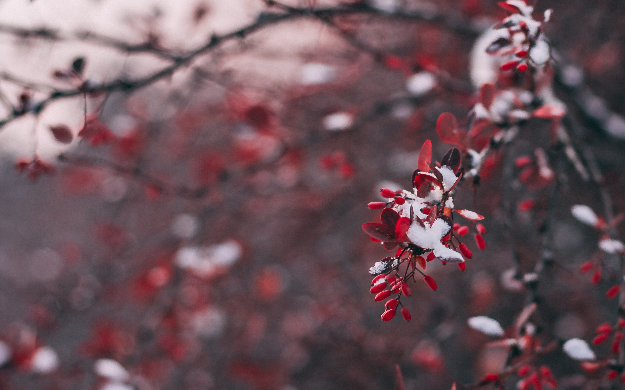 closeup photo of red and white flowering tree