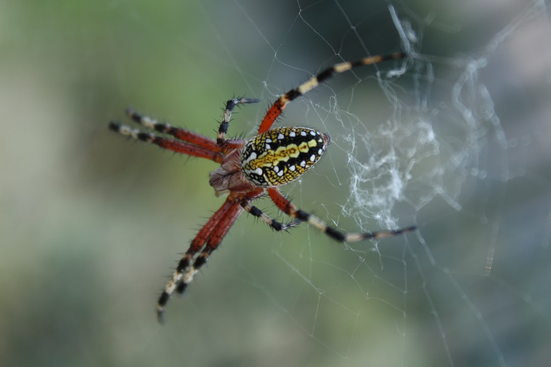 Very common spider in the late autumn season, in the hills surrounding the Mexican capital.