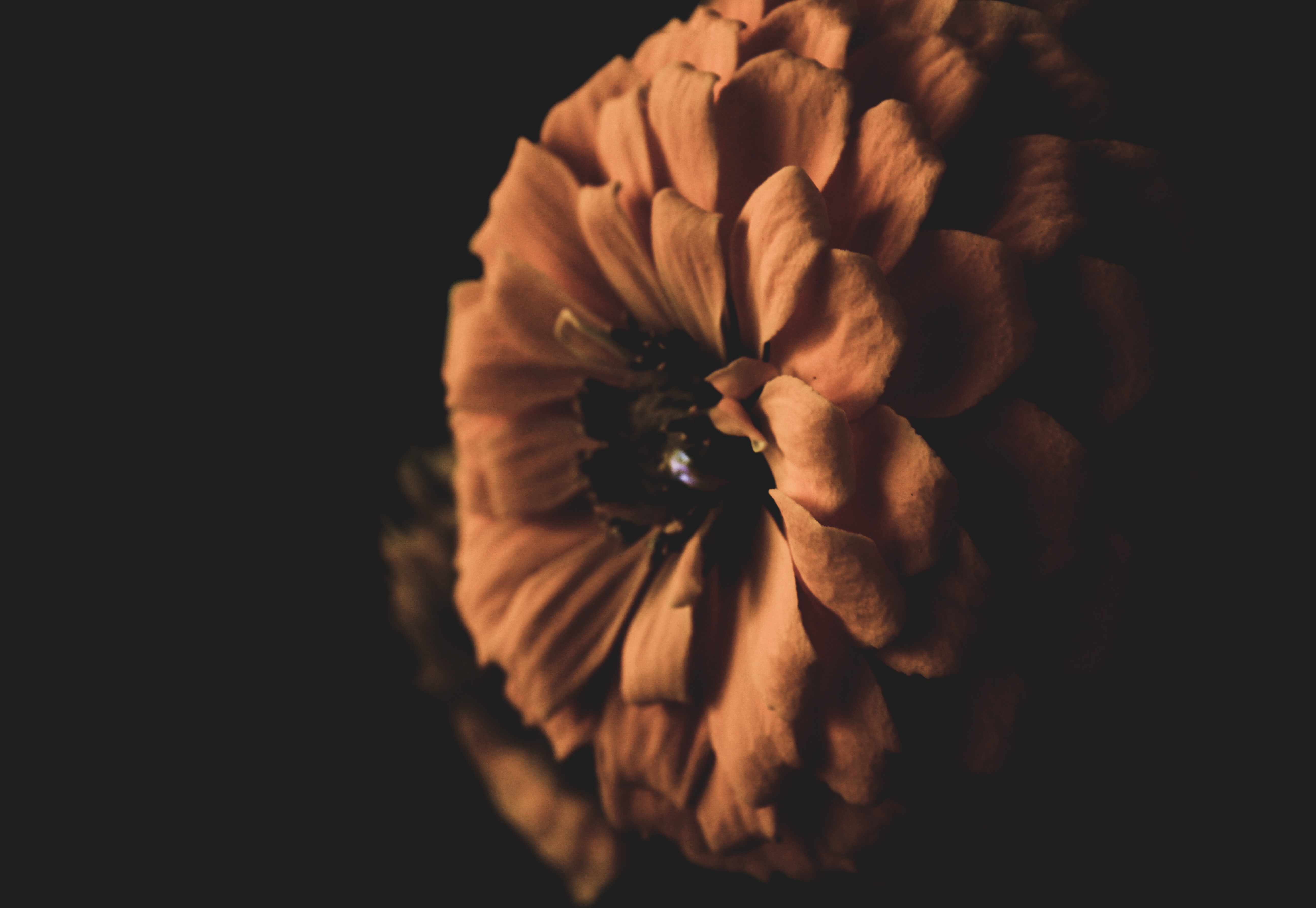 closeup photo of brown petaled flower against black background