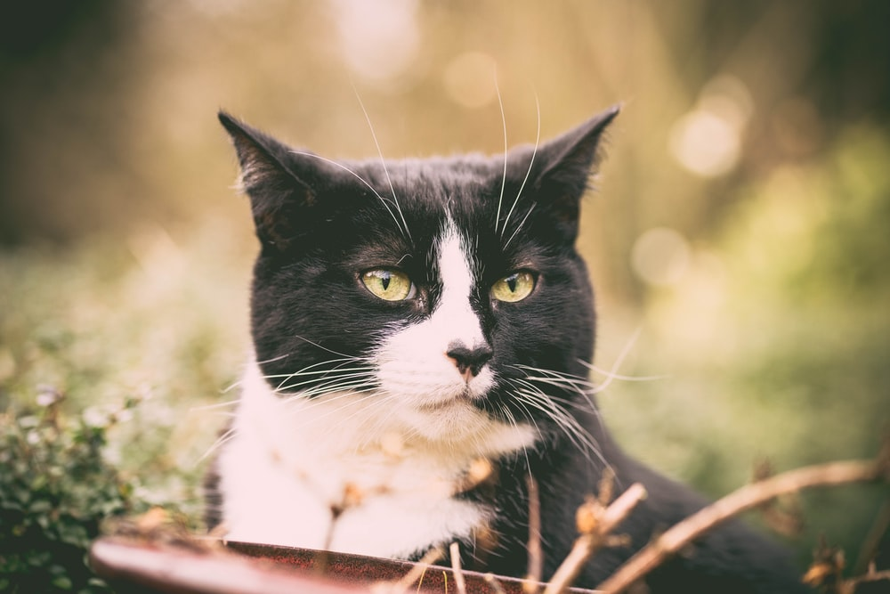 closeup photo of short-fur black and white cat on green grass
