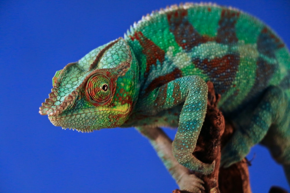 green and brown chameleon