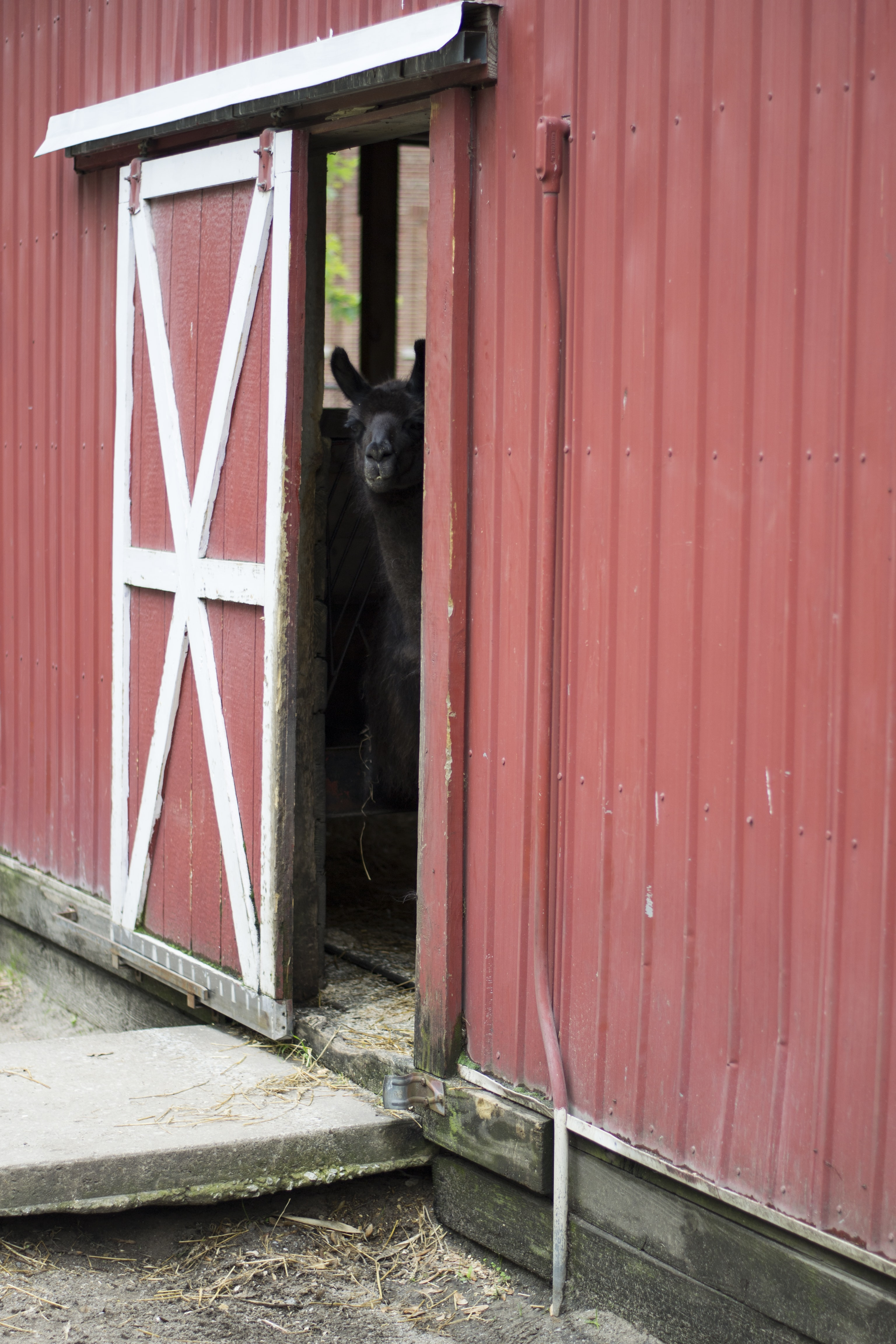 black animal inside barn