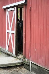 black animal inside barn