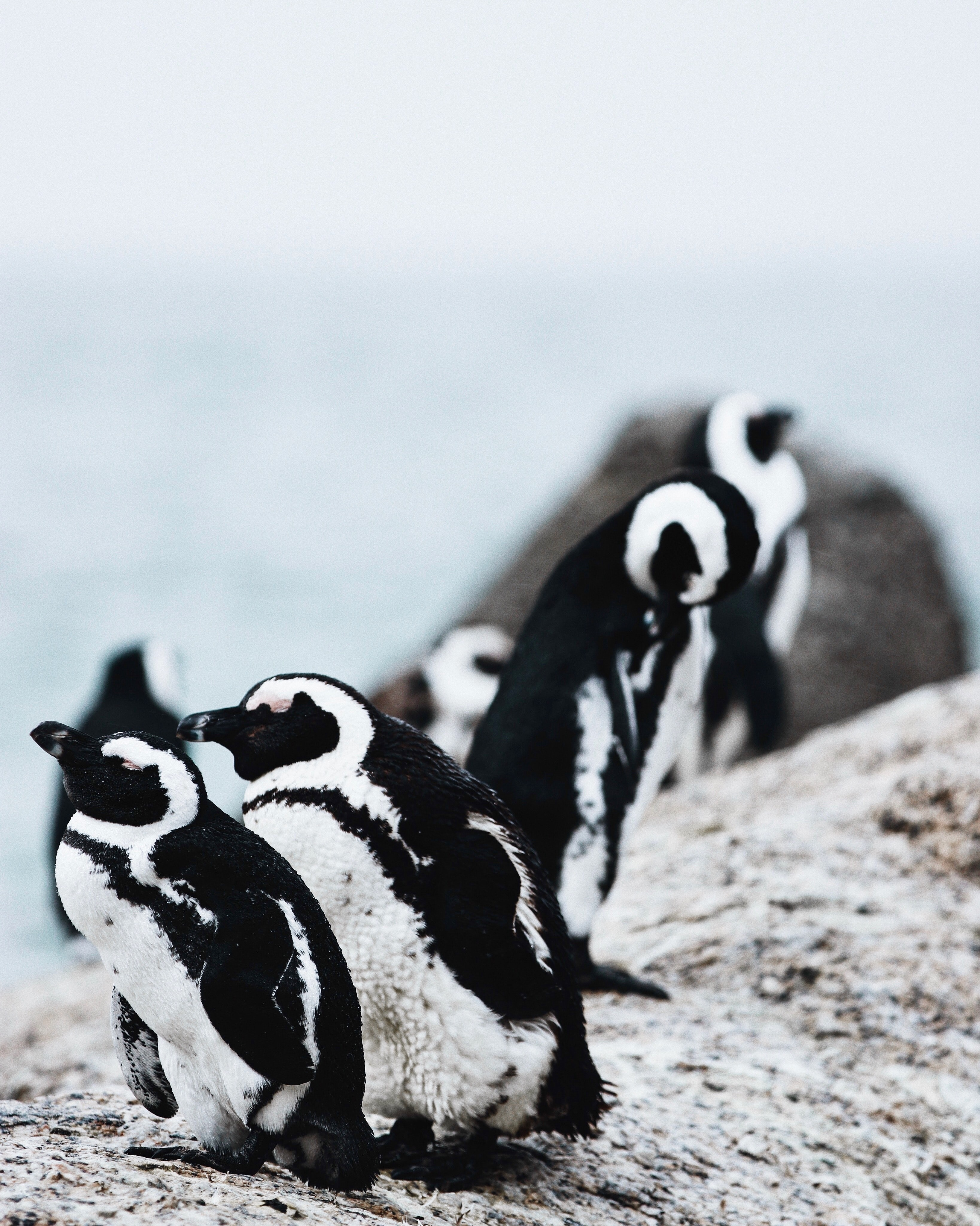closeup photography of group of penguins