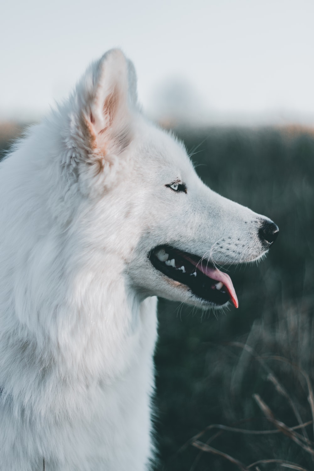 shallow focus photography of long-coated white dog