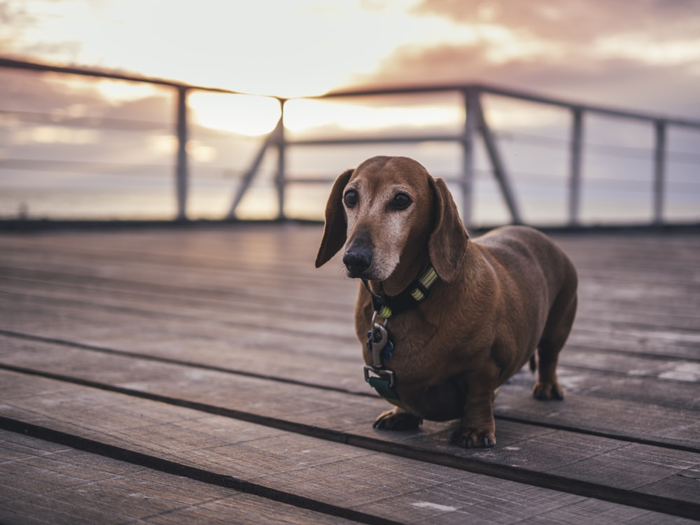 adult tan dachshund on brown wooden ground at sunset