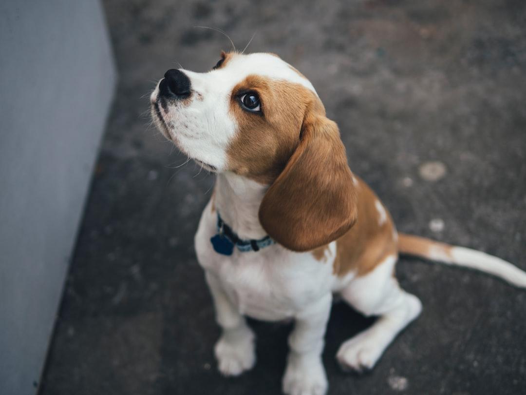 Beagle Welpe